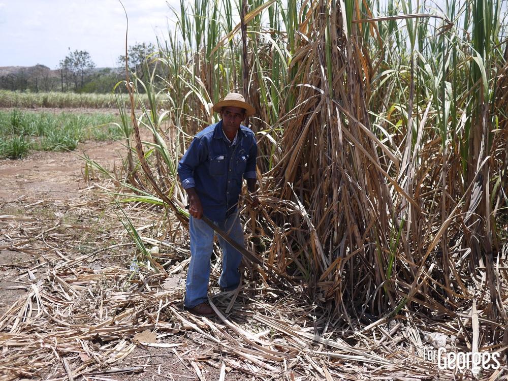 Coupe de la canne à sucre au Panama