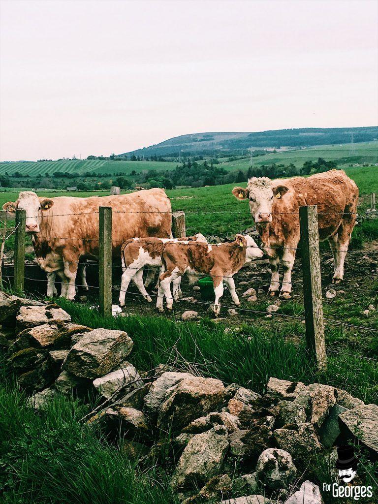 Vache dans la campagne Ecossaise