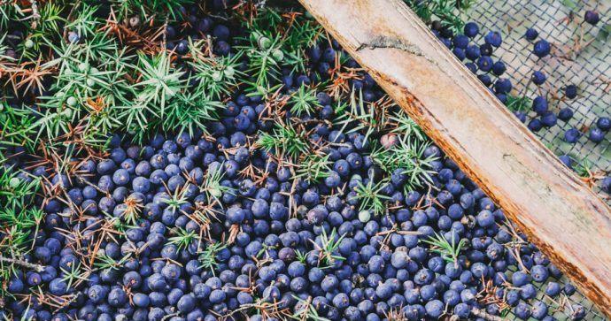 Récolte baie genièvre Bombay Sapphire